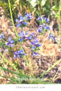 Sapphire woollystar flowers blue temecula chaparral