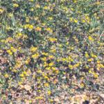 Short podded lotus mound temecula ca