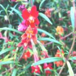 Sticky Monkey flower cardinal red