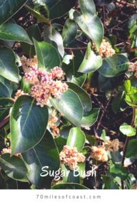 sugar bush southern california native plants