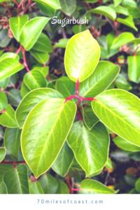 sugar bush leaves june 28 2020