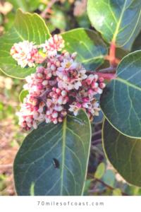 sugar bush temecula flowers leaves