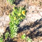 Telegraph Weed plant pechanga creek