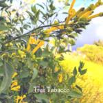 Tree tobacco non native plant temecula