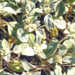 turkey mullein southern california native plants