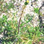 white lupine silver bush lupine flowers