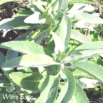 white sage southern california native plants