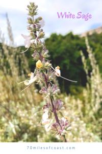White Sage Flowers temecula CA