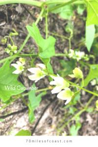 wild cucumber flowers pechanga creek temecula