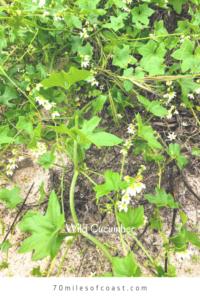 Wild cucumber temecula pechanga creek