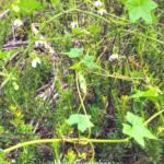 Wild Cucumber vine southern california native plants