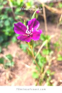 Winecup Clarkia flower deep purple green stem