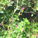 Winecup Clarkia Flowers temecula creek inn trail