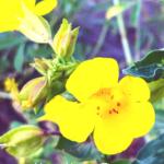 yellow monkey flower temecula southern california