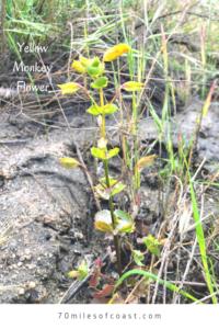 Yellow Monkey Flowers May pechanga creek