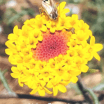 Yellow Pincushion flower san diego native plants