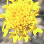 yellow pincushion flower california native plants