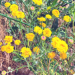Yellow Pincushion flowers temecula