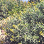 Bladderpod plants at the beach