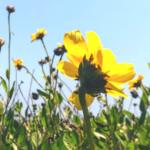Bush sunflower flowers yellow blue sky