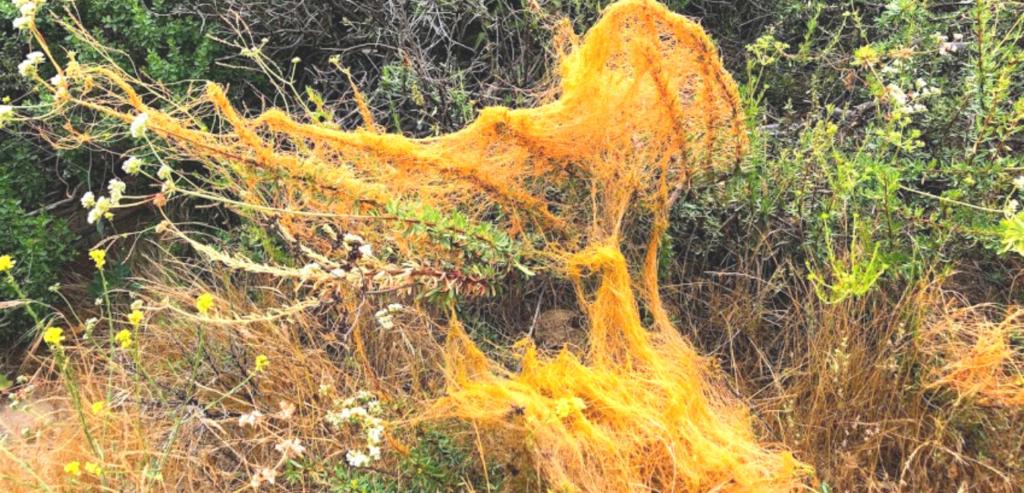 CA Dodder Convolvulaceae temecula creek inn trail