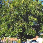 CA Sycamore tree southern california native plants