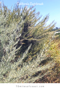 California sagebrush san onofre state beach