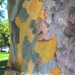 California Sycamore truck white pealing bark