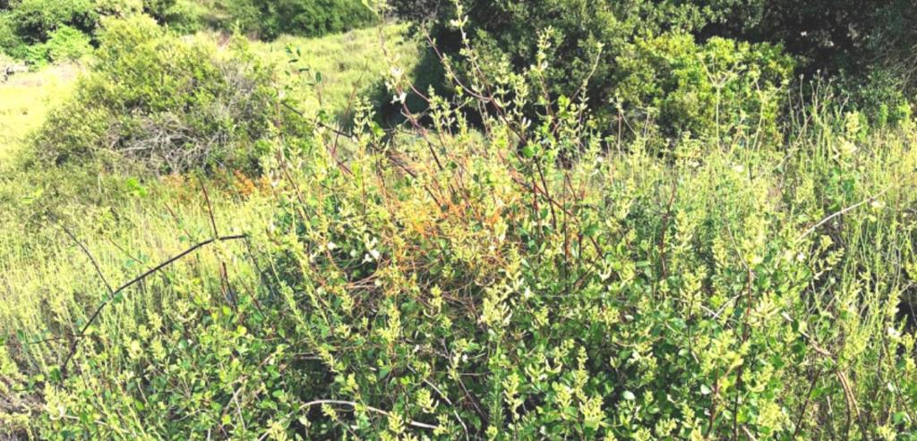 Chaparral honeysuckle caprifoliaceae temecula creek inn trail