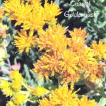Coastal Goldenbush May yellow flowers