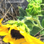 Common Sunflower buds temecula pechanga creek