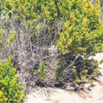 coyote bush trestles beach san onofre