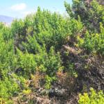 coyote bush trestles plants on the beach