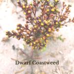 Dwarf Coastweed plants at the beach