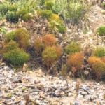 dwarf coastweed bushes beach rocks plants