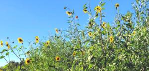 Family Asteraceae southern california naitve plants