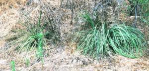 Family Cyperaceeae San Diego Sedge bushes