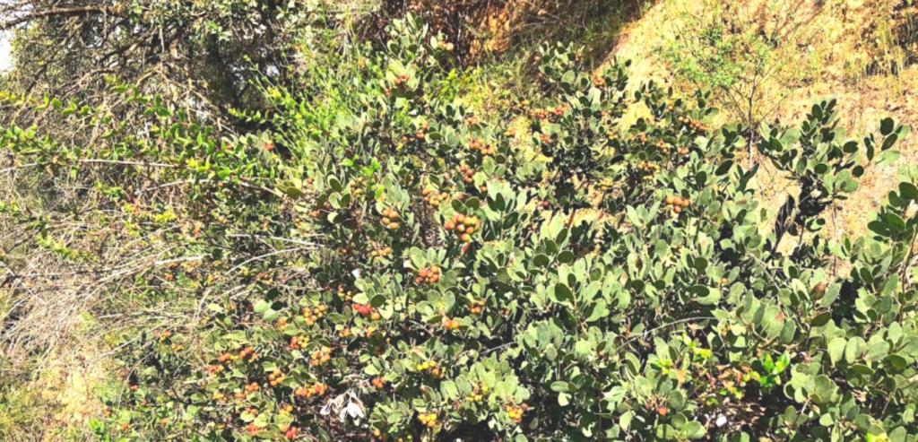 Family Ericaceae Rainbow Manzanita bush