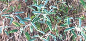 Family Euphorblaceae croton plant temecula