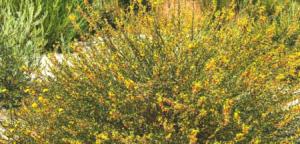 Family Fabaceae deerweed bush pechanga creek