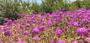 Family Nyctaginaceae sand verbena temecula