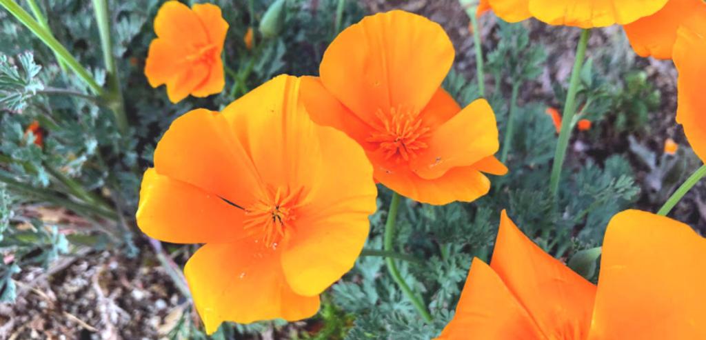 Family Papaveraceae california poppies