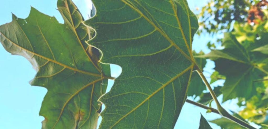 Family Plantaceae sycamore tree california