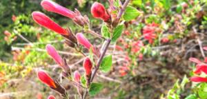 Family Plantaginaceae red penstemon