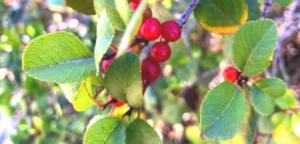 Family Rhamnaceae Hollyleaf redberry bush