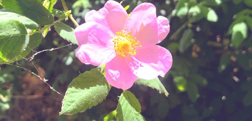 Family rosaceae small california wild rose
