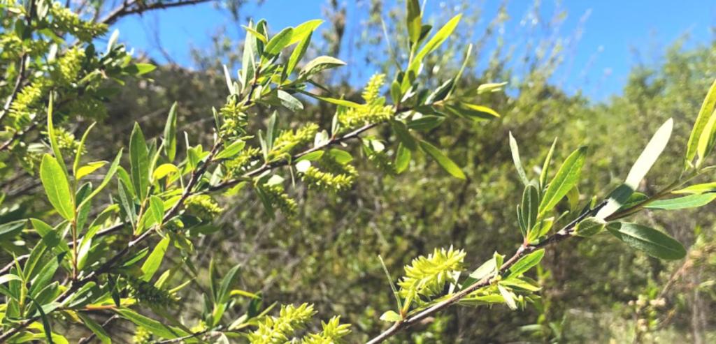 Family Salicaceae arroyo willow southern california naitve plants