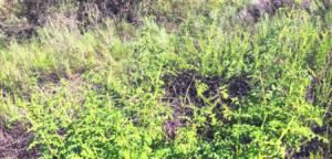 Family Scrophulariaceae california figwort plant temecula