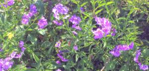 Family Solanaceae Nightshade southern california native plants