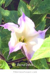 July Sacred Datura five lobed white lavender flower